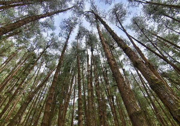 Pine forests, Kodaikanal - Karthi Travels | Polur - Kodaikanal Tour