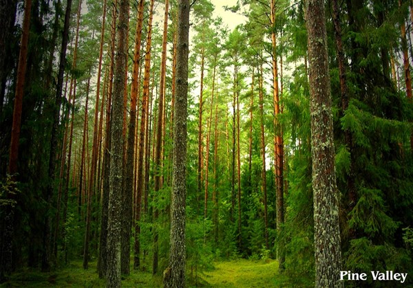 Pine Forests, Vagamon - Karthi Travels | Katpadi - Vagamon Tour